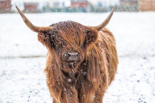 Fotobanka sbezplatnými fotkami na tému býk, chladný, chlpatý