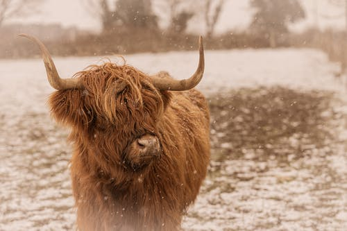 Brown Yak on Snow Covered Ground