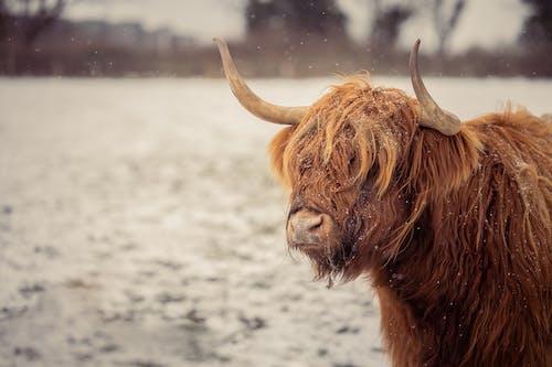Δωρεάν στοκ φωτογραφιών με αγελάδα, άγρια φύση, βόδια