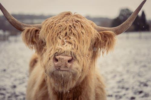 Δωρεάν στοκ φωτογραφιών με αγελάδα, άγρια φύση, αγροτικός