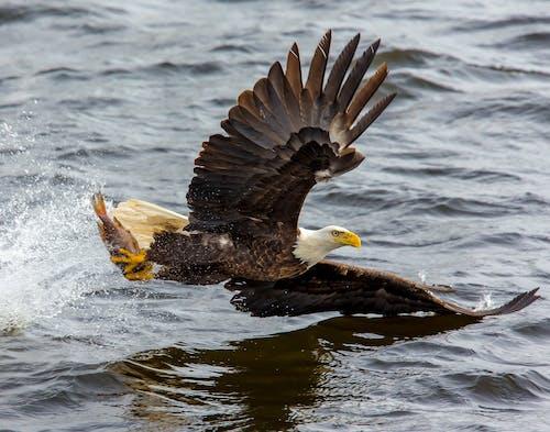 Fotos de stock gratuitas de agua, águila, Águila calva, alas
