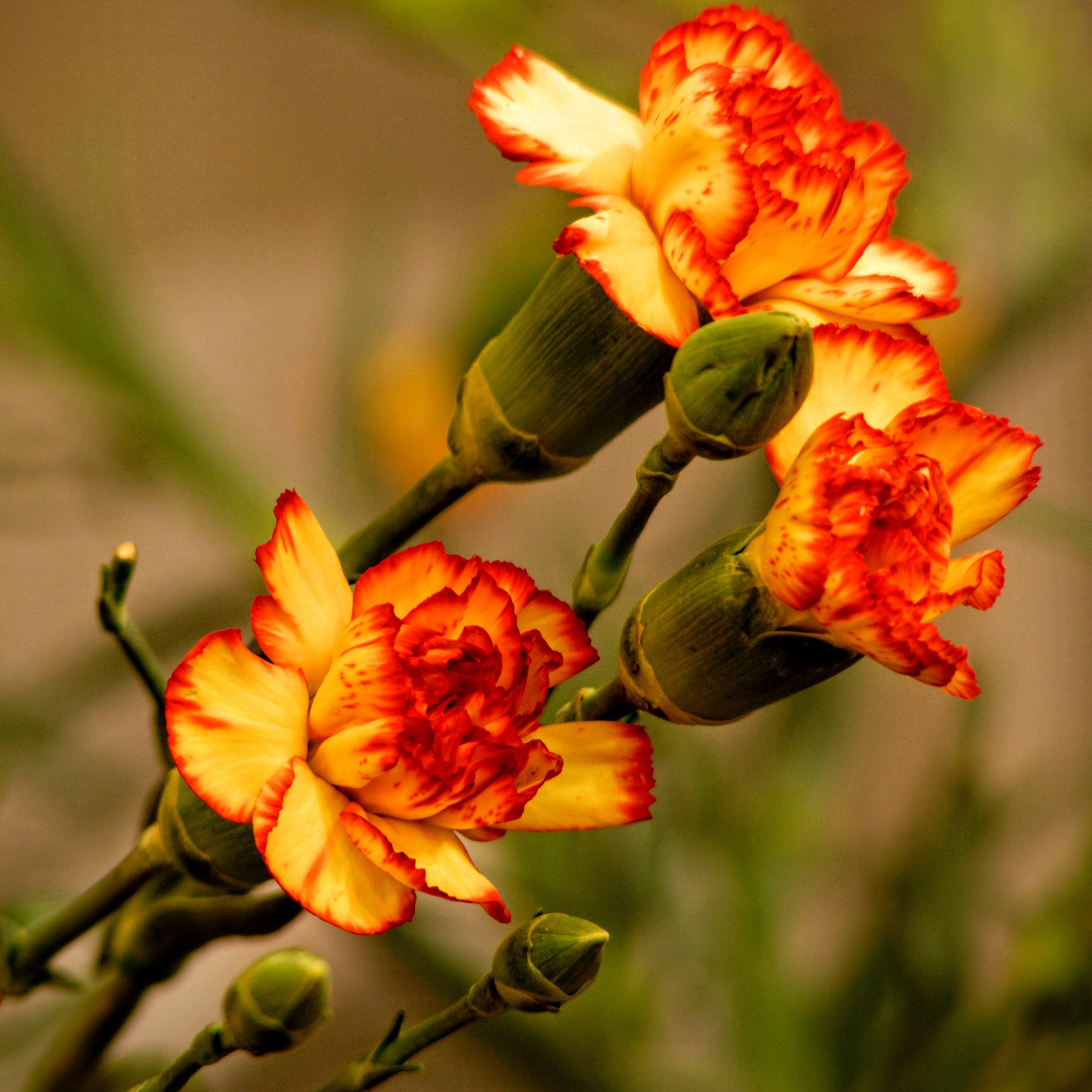 Kostenloses Stock Foto zu pflanze, blume, nelke