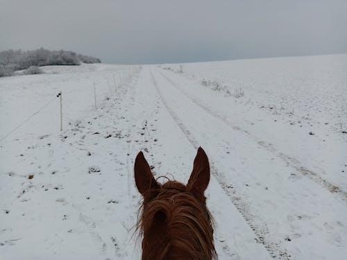 Free stock photo of horse, winter