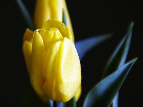 Free stock photo of yellow, spring, flower, tulip