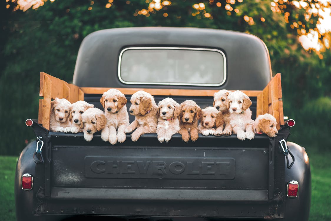 White and Brown Puppy Litter on Black Car