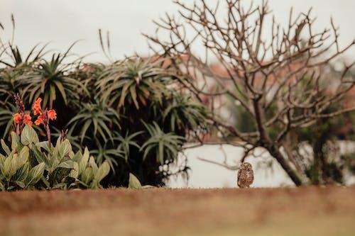 A Little Brown Owl