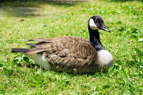 A Goose Sitting on the Green Grass
