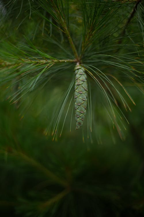 Free stock photo of conifer, conifer cone, Ever Green