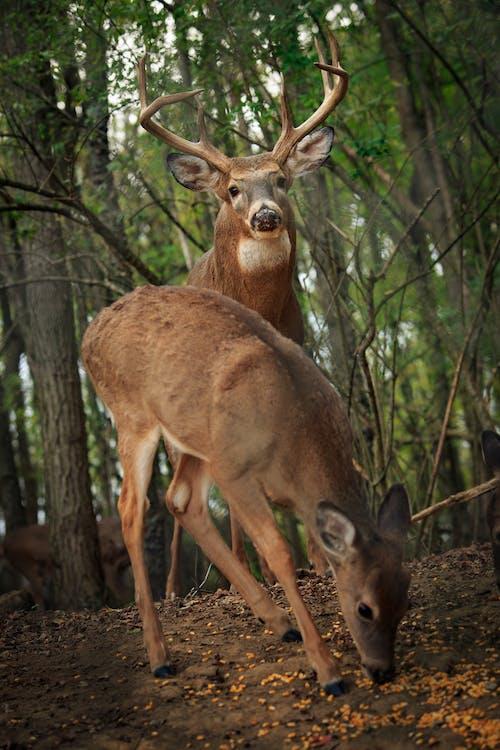 Free stock photo of antlers, buck, corn