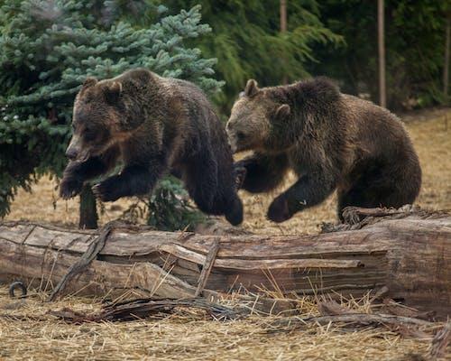 Free stock photo of bear, bears, brown bear