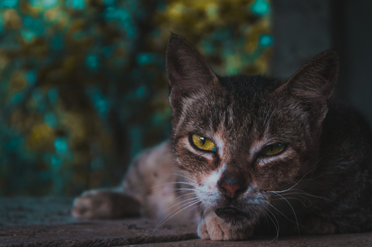 Selective Focus Photography of Squinted-eyed Cat