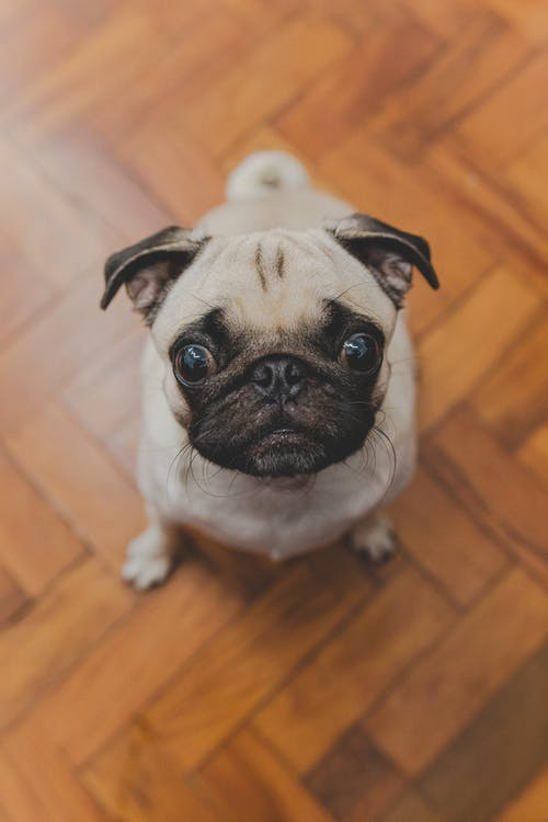 Fawn Pug on Brown Wooden Floor