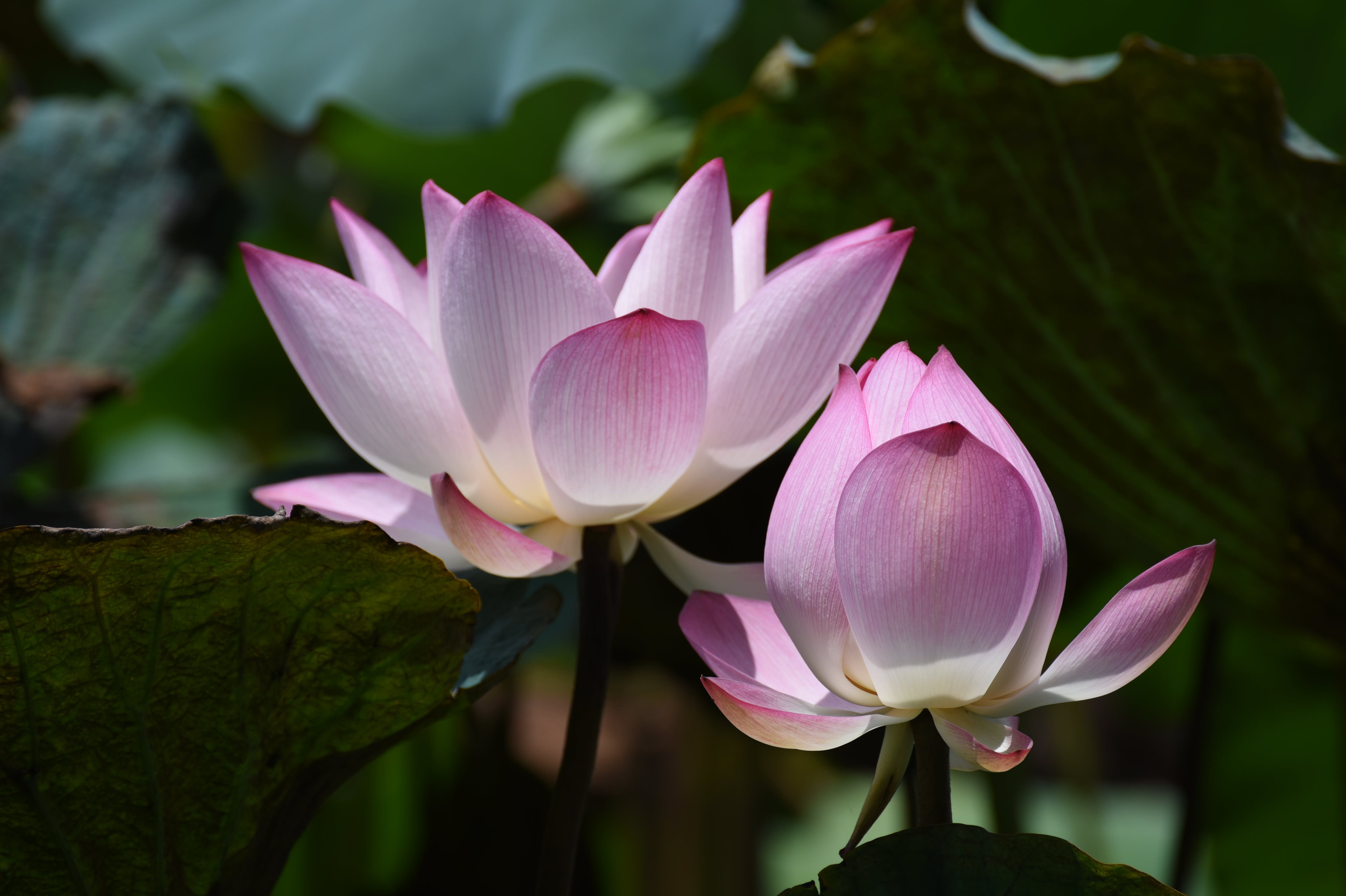 Photography of Lotus Flowers in Bloom