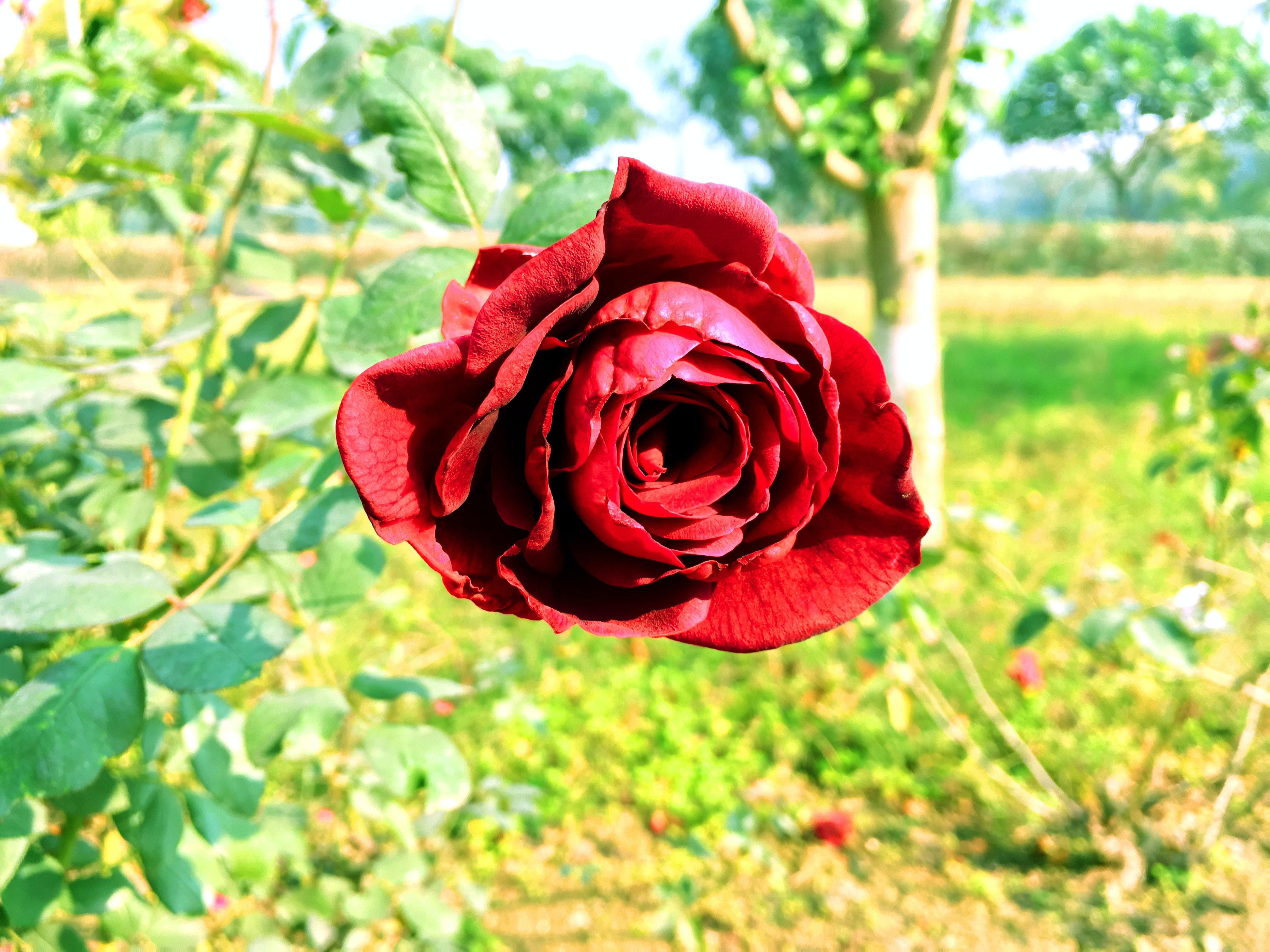 Foto Stok Gratis Tentang Bunga Mawar Cantik Bunga Bunga Indah Mawar