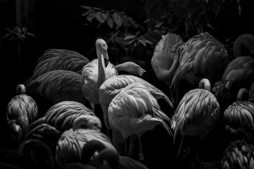 Gray Scale Photo of Flamingos