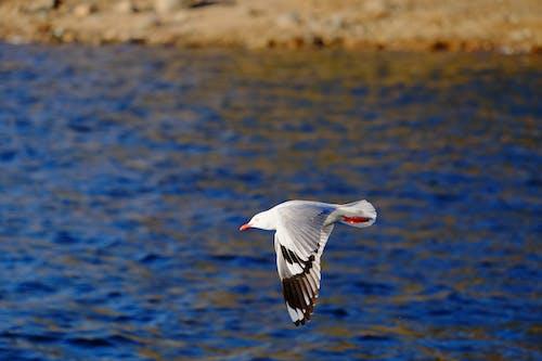 Δωρεάν στοκ φωτογραφιών με γλάρος, ζώο, θάλασσα
