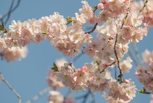 White and Pink Cherry Blossom