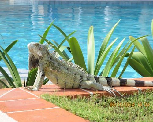 Free stock photo of iguana