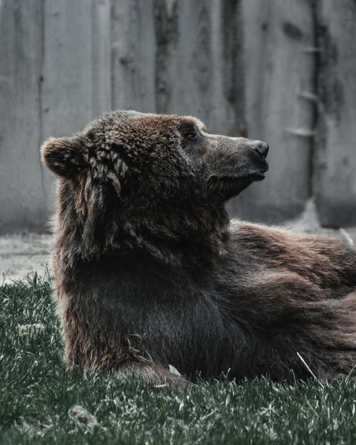 Big dangerous wild bear with brown fur lying on grassy lawn near shabby wooden fence while resting in zoological park