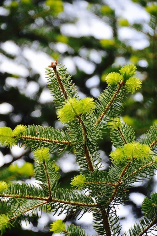Foto d'estoc gratuïta de acícula, arbre, avet, branca