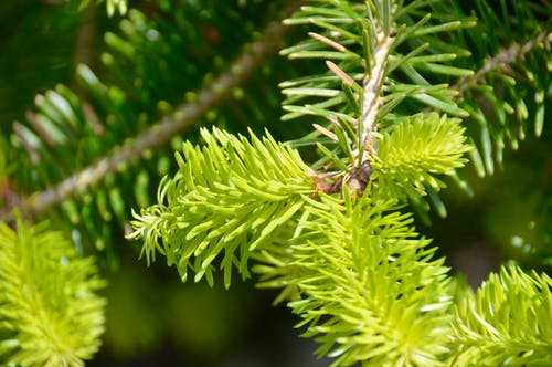 Shallow Focus Photography of Spruce