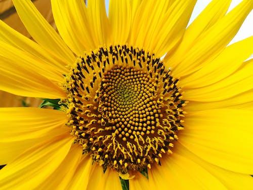 Free stock photo of greece, sunflower