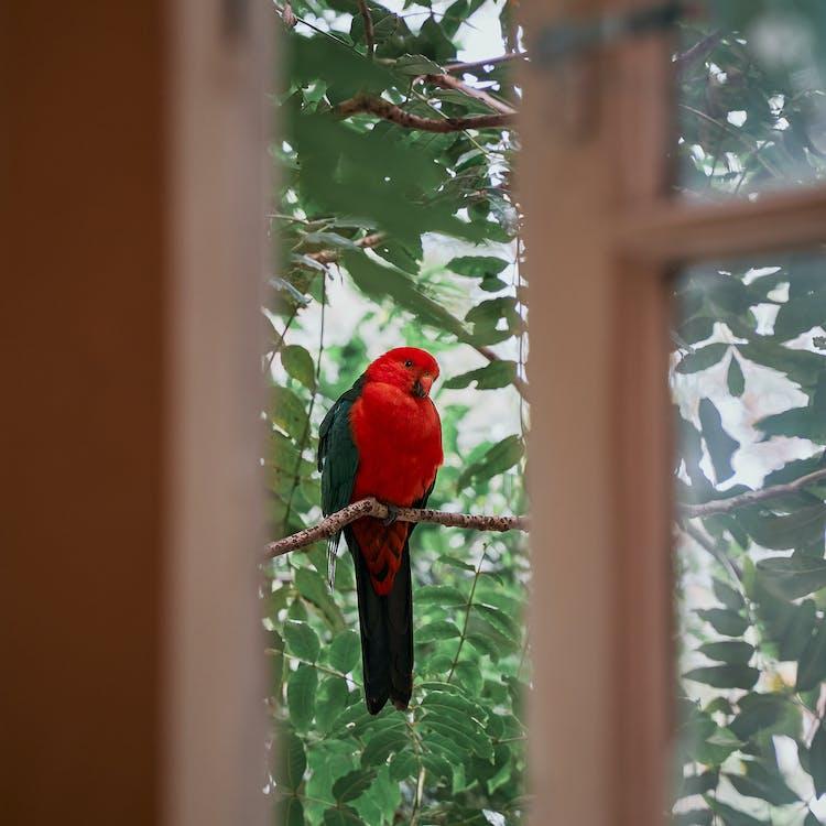 Red Bird on Brown Wooden Window