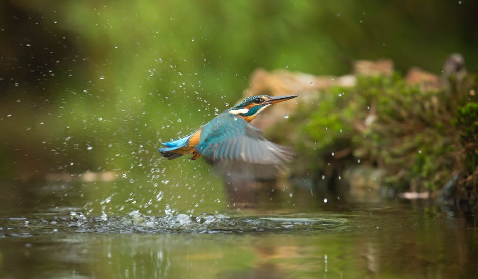 Photo Of Common Kingfisher Flying Above River · Free Stock
