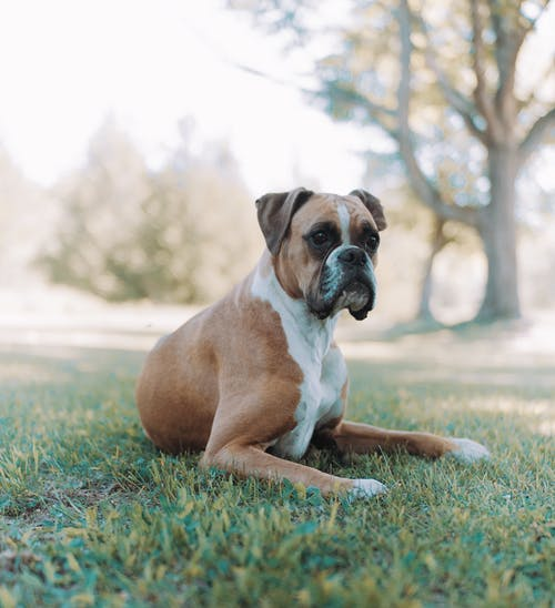 Brown and White Short Coated Dog on Green Grass