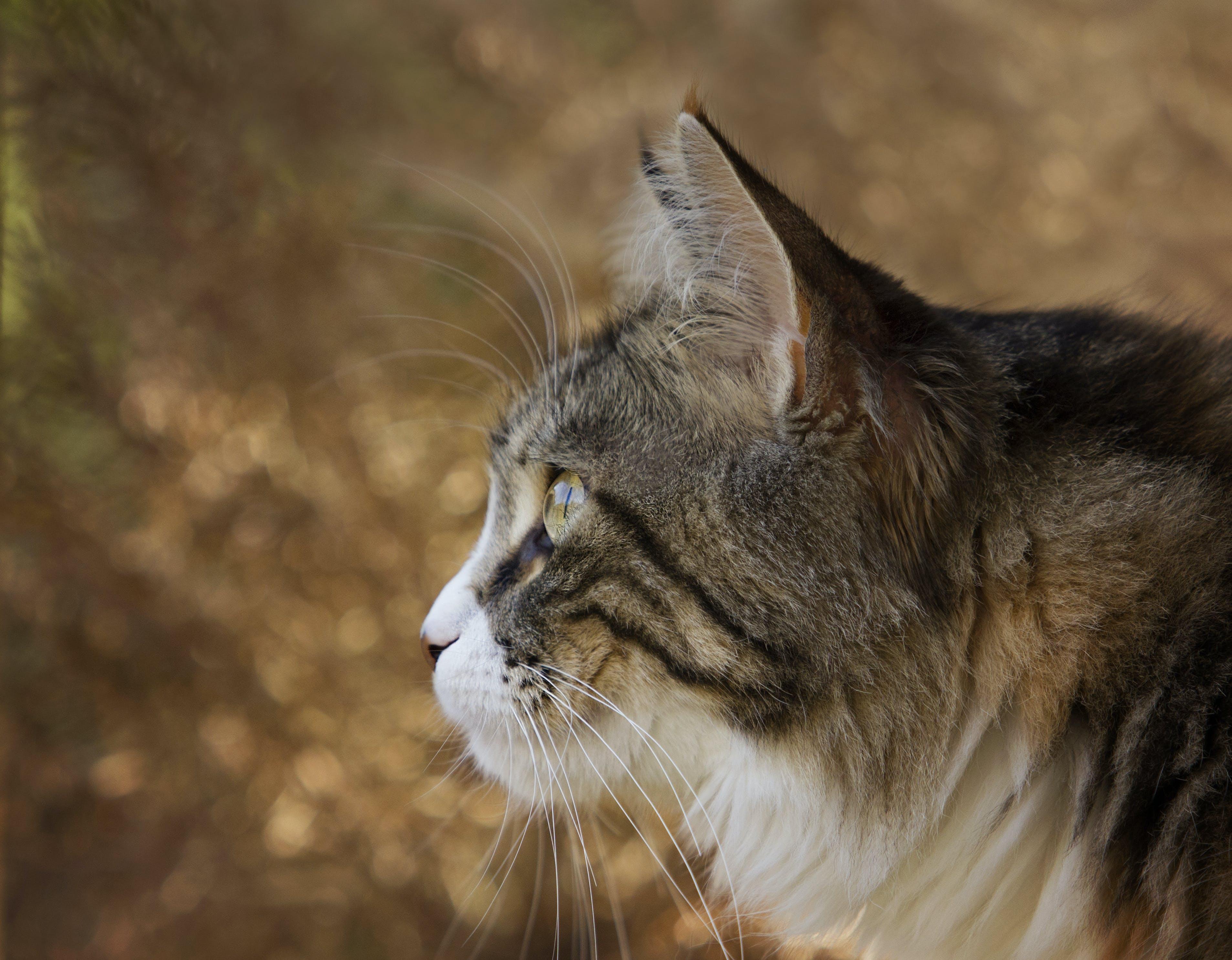 Foto d'estoc gratuïta de animal, bigotis, buscant, caçador