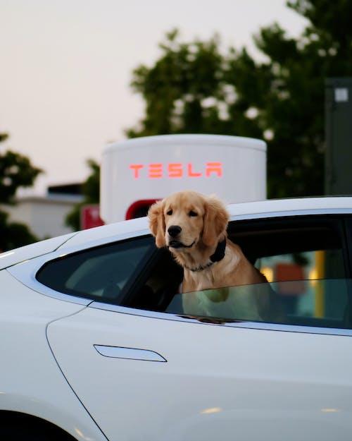 Golden Retriever in White Car