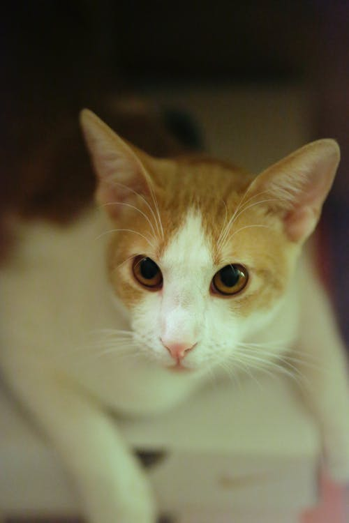 Free stock photo of 100mm, bokeh, cat