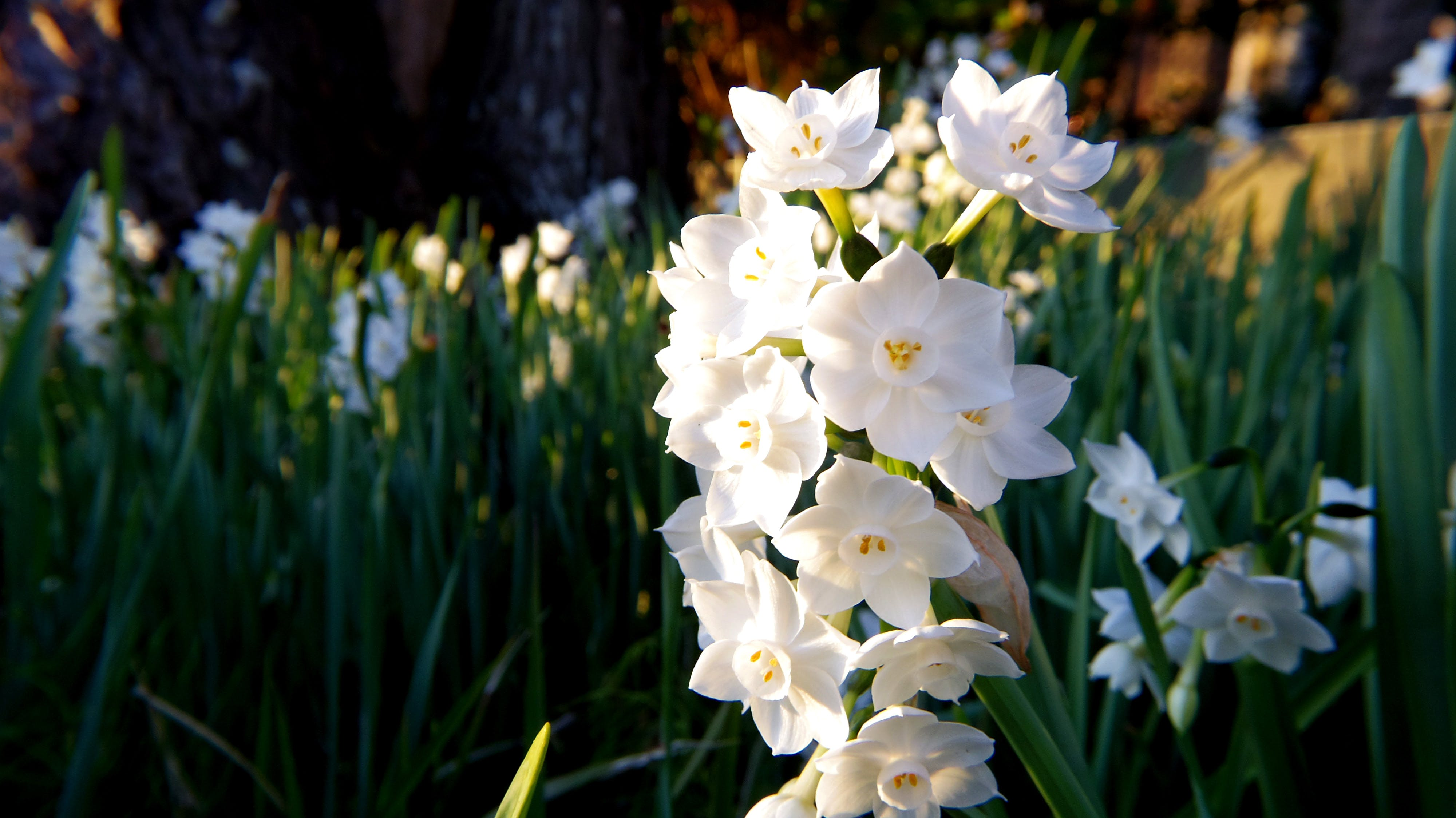 White Daffodil Flowers in Closeup Photography