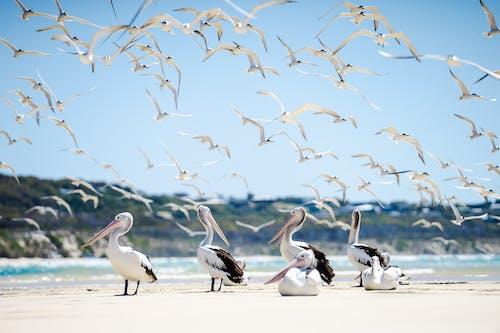 Flock of Pelicans on Shore