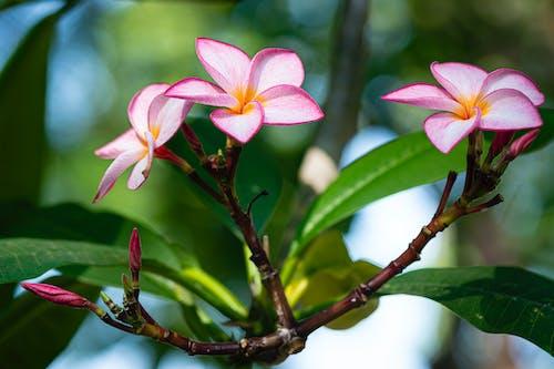 Blossoming flowers of plumeria tree