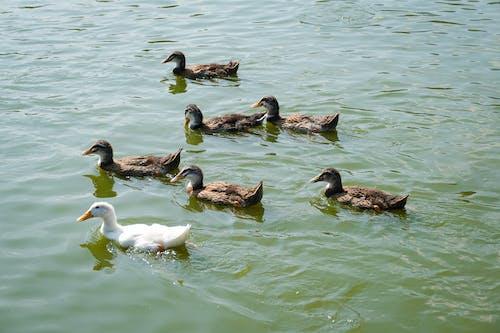 Ducks swimming in lake water