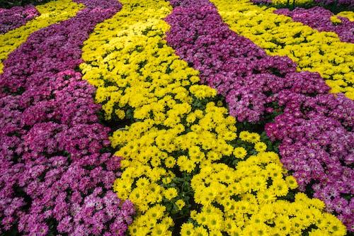 Abundance chrysanthemum flowers in garden