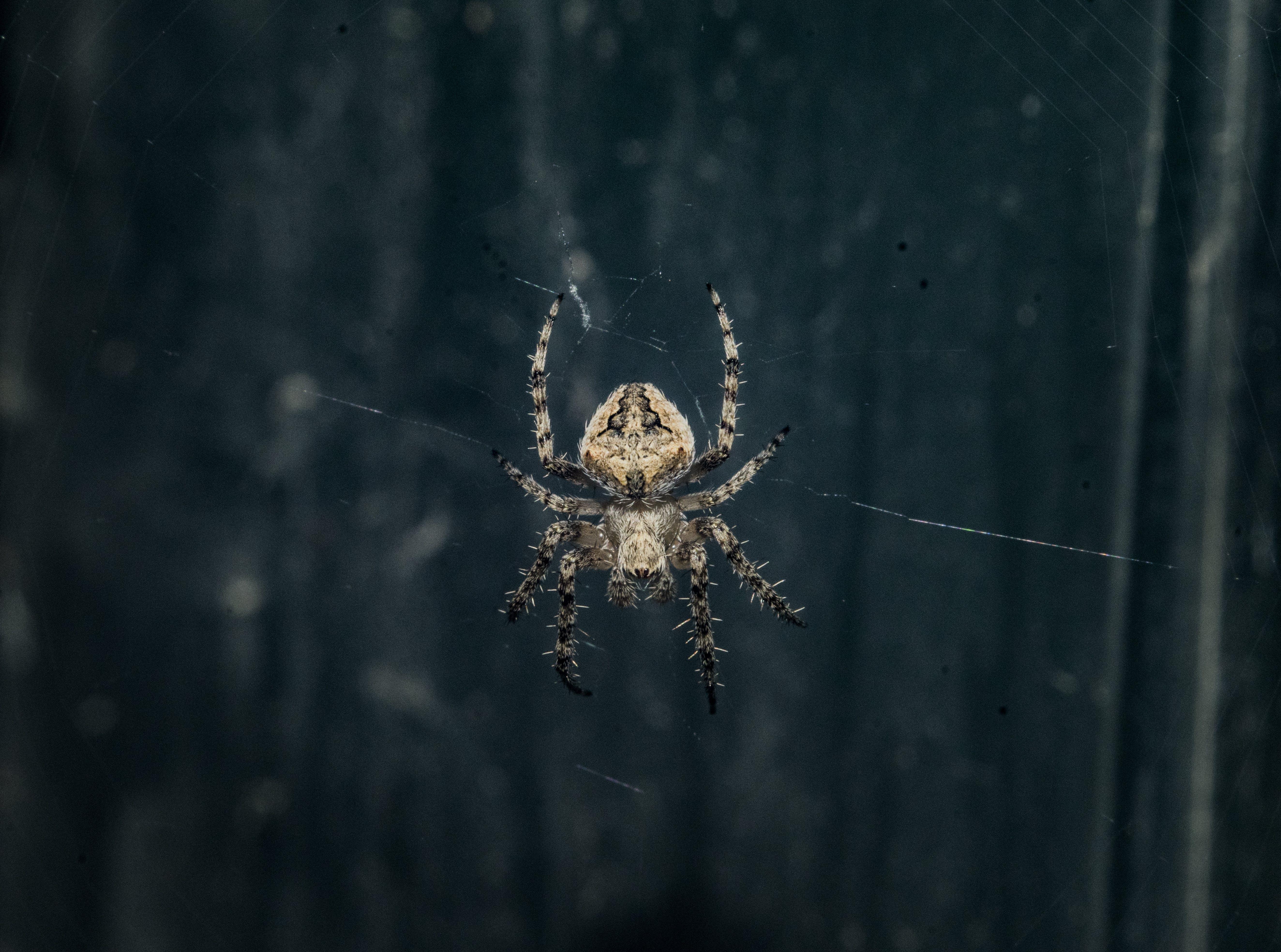 Brown Araneus Cavaticus Barn Spider