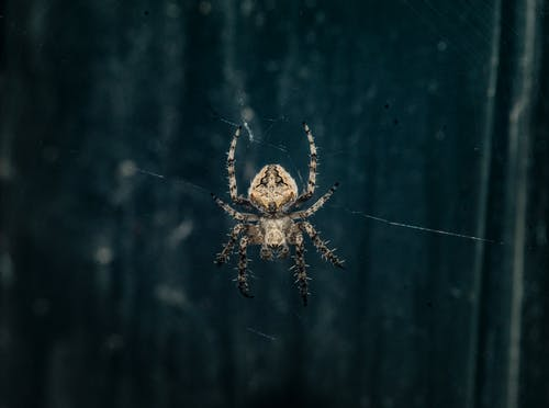 Brown Araneus Cavaticus Barn Spider