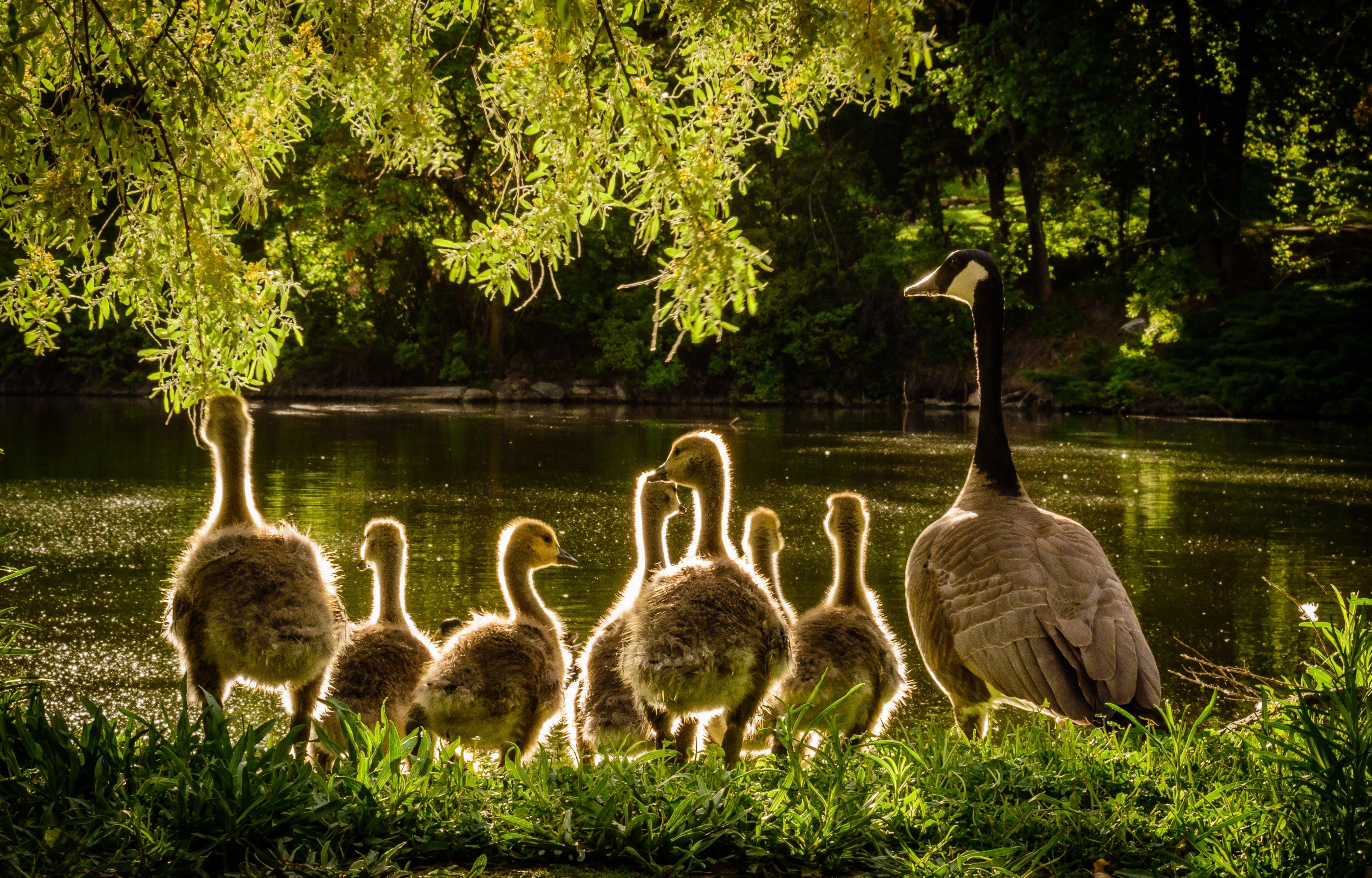 Ducks Near Body of Water