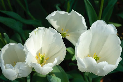 Blossoming tender tulips with gentle white petals and green leaves growing in botanical garden with bright sunlight on summer day