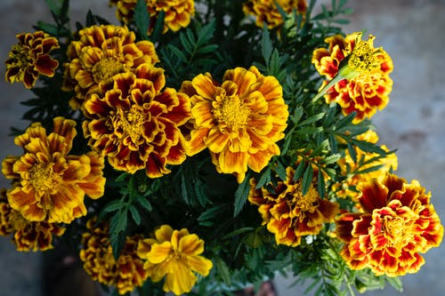 Blooming yellow and orange Tagetes marigold flowers with green leaves