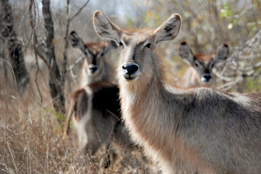 Free stock photo of antelope, wild animals, waterbuck, wild animal