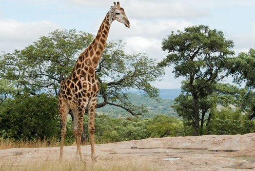 Free stock photo of africa, giraffe, safari