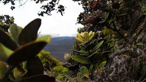 Free stock photo of flower, hawaii, volcano