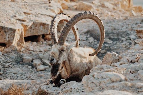 Brown Ram on Rocky Mountain