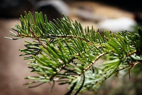 Pine Tree Leaves