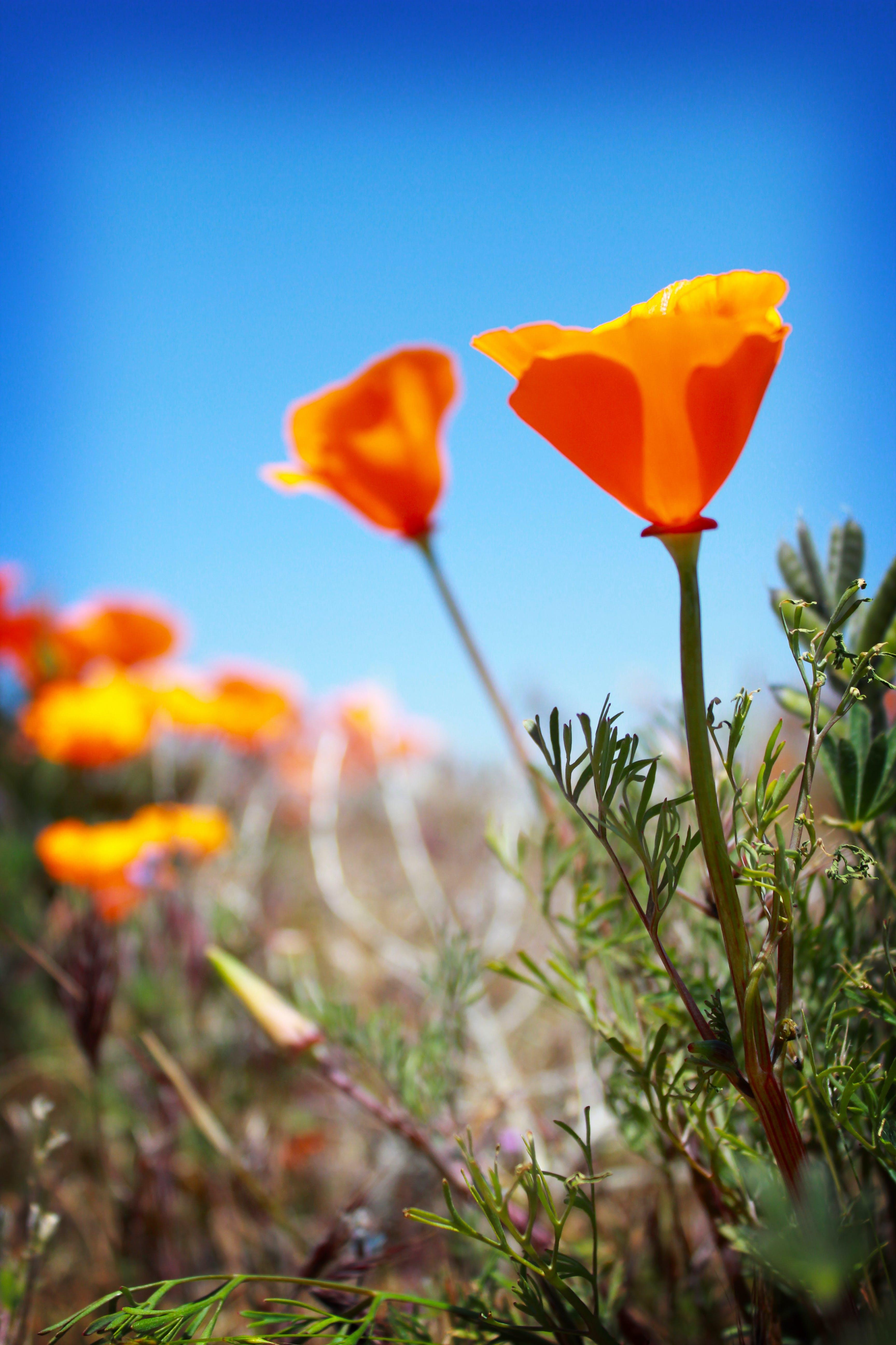 Free stock photo of antelope valley, poppies, poppy