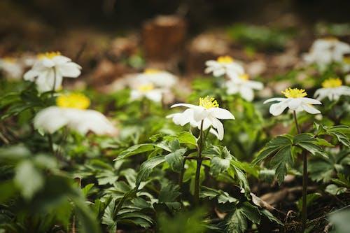 Kostenloses Stock Foto zu blühen, botanisch, flora