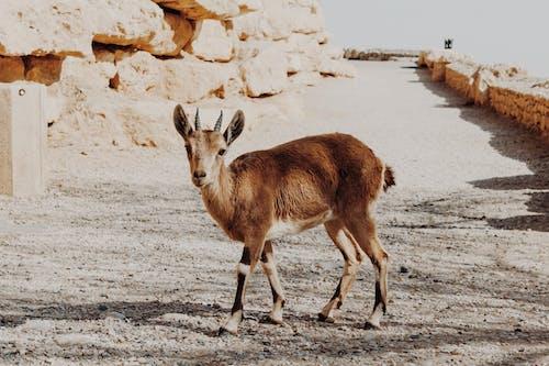 Free stock photo of animals in the wild, baby goat, desert background
